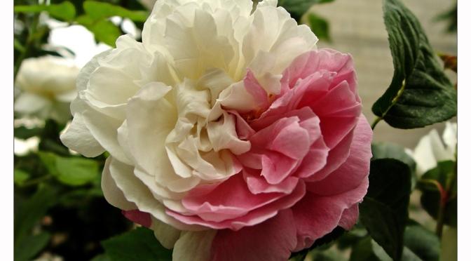 Schneeweißchen und Rosenrot – Szene 8